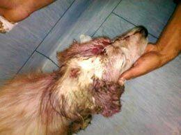 cane-ferito-testa